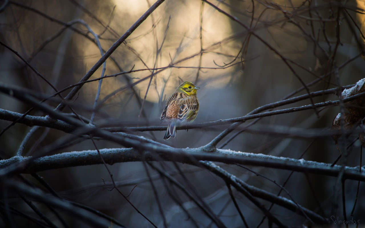 yellowhammer-wallpaper-1280x800
